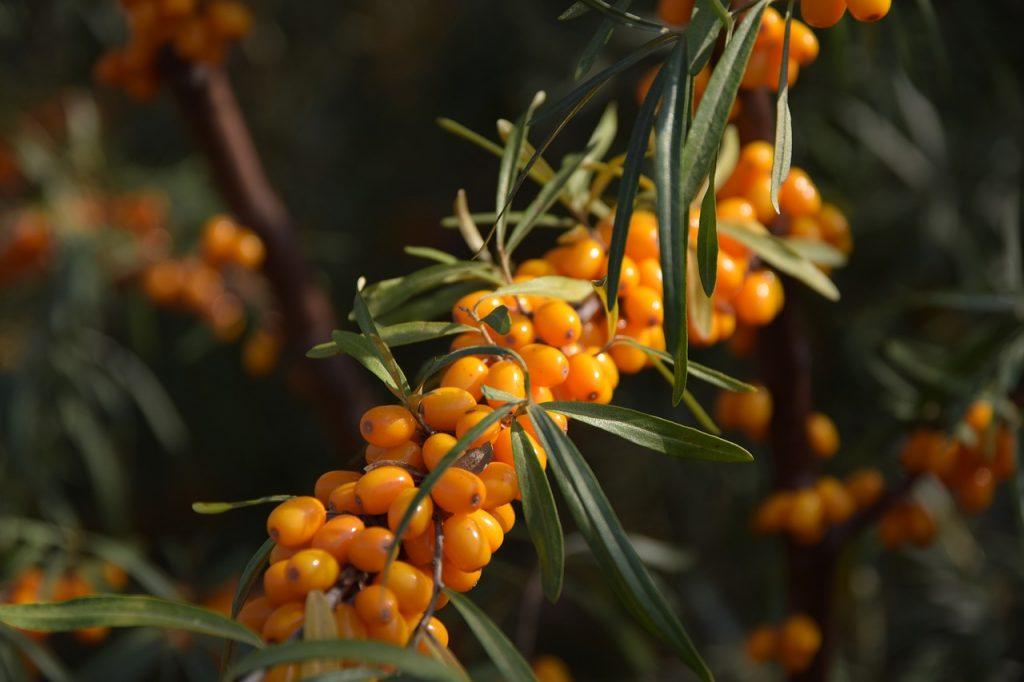 Oranžové plody rakytníka na vetvičke